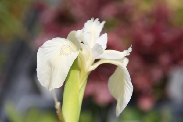 Iris pseudacorus `Creme de la Creme` - Wasserschwertlilie