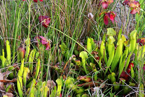 Sarracenia x catesbaei [Elliott] - Catesbys`Schlauchpflanze