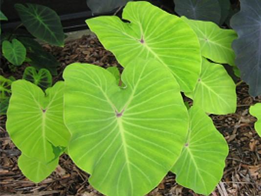 Colocasia esculenta `Elena` - Taro