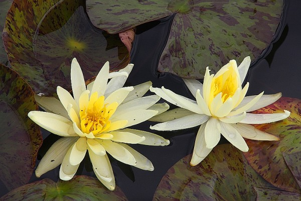 Nymphaea `Yellow Queen` - Winterharte Seerose