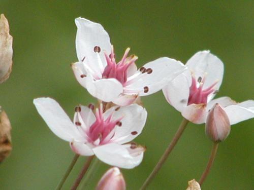 Butomus umbellatus [L.] - Schwanenblume