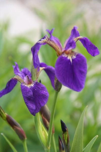 Iris setosa [Pall. ex Link] - Arktische Iris