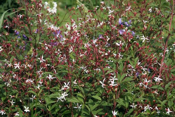 Gillenia Trifoliata L Moench Dreiblattspiere Feuchter Boden