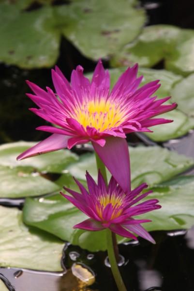 Nymphaea `Charlies Pride` - Tropische Seerose