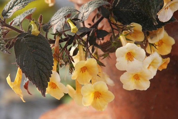 Achimenes `Yellow Beauty` - Schiefteller