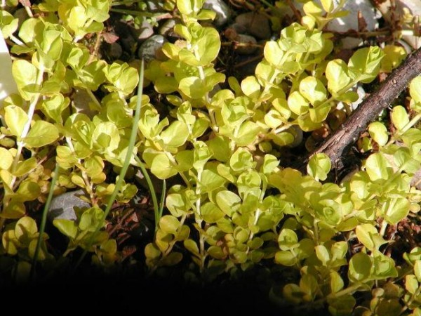 Lysimachia nummularia `Aurea` - Pfennigkraut