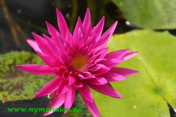 Nymphaea `Tropic Punch` - Tropische Seerose