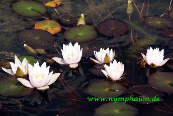 Nymphaea `Fridolfing` - Winterharte Seerose