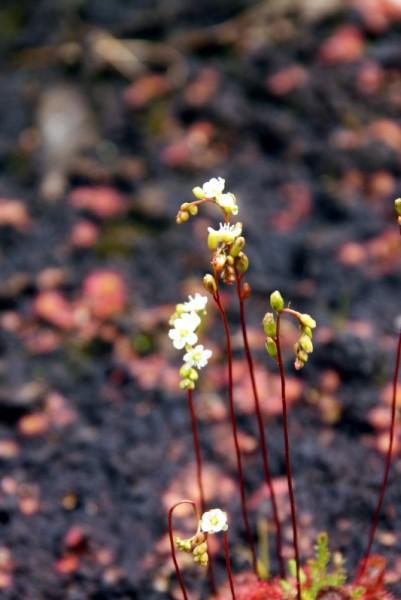 Drosera rotundifolia [L.] - Rundblättriger Sonnentau