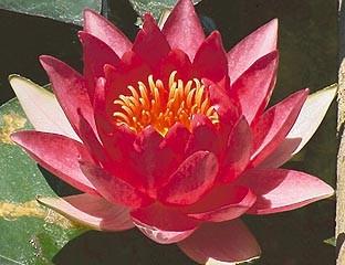 Nymphaea `Sultan` - Winterharte Seerose