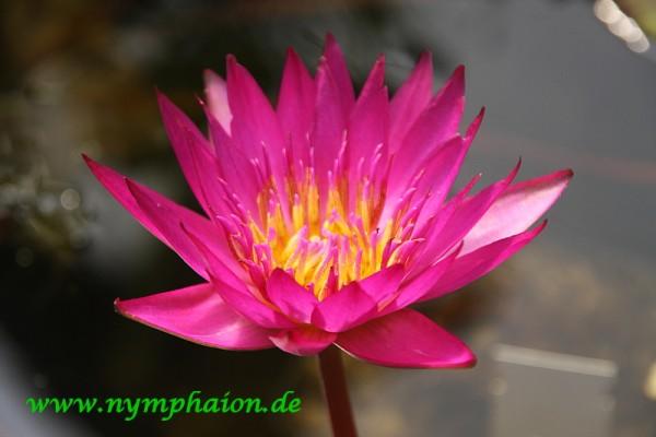 Nymphaea `Doris Holt' - Tropische Seerose