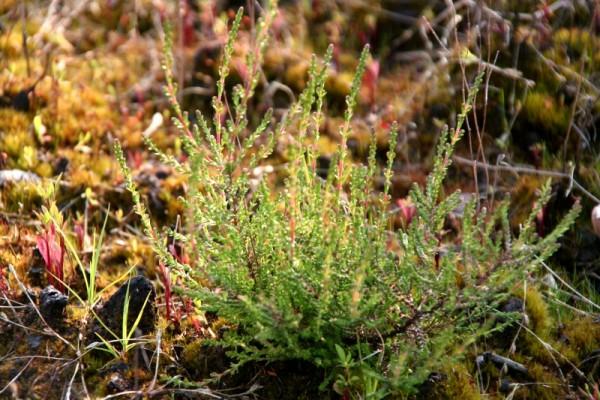 Calluna vulgaris [(L.)Hull] - Besenheide
