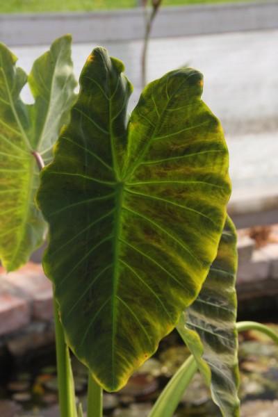 Colocasia esculenta `Coal Miner` - Taro