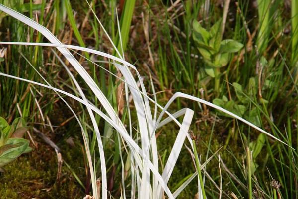 Carex riparia `Aureola` - Bunte Ufersegge