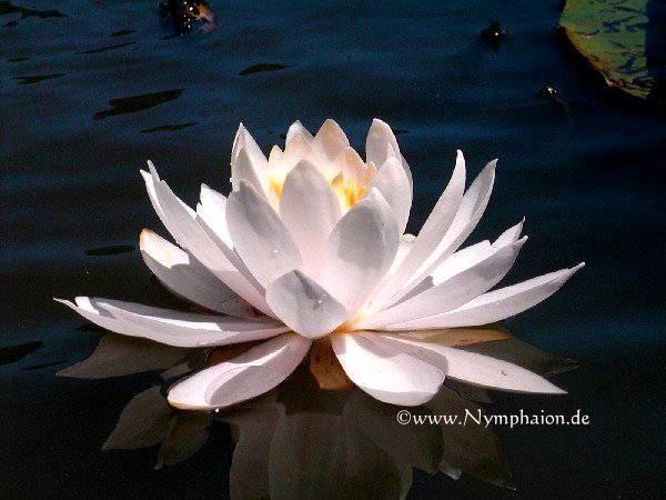 Nymphaea `Odalisque` - Winterharte Seerose
