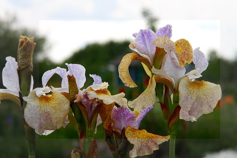 Iris-sibirica-Salamander-Crossing-01-06-14-02