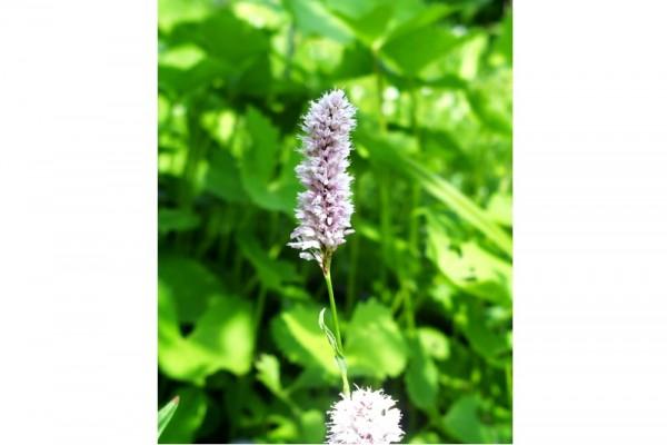 Bistorta officinalis ssp officinalis [Delarb.] - Wiesenknöterich