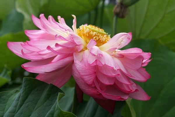 Nelumbo `Double Pink` - Lotosblume
