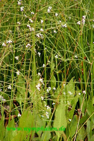 Alisma lanceolatum [With.] - Lanzettlicher Froschlöffel