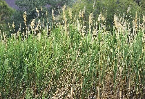 Phragmites australis [(Cav.) Trin. Ex Steud.] - Schilfrohr
