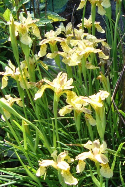 Iris forrestii [Dykes] - Forrest's Iris