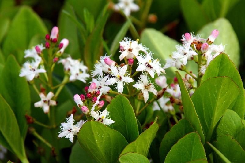 Menyanthes-trifoliata-12-05-13-04