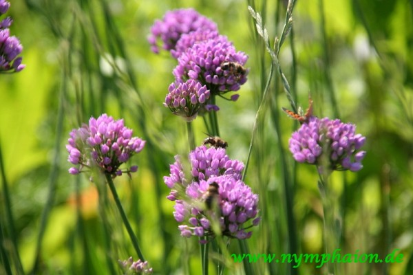 Allium angulosum [L.] - Kantiger Lauch