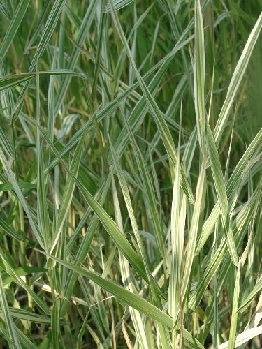 Phalaris arundinacea `Picta` - Zebra-Rohrglanzgras