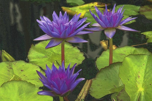 Nymphaea `King of Siam` - Tropische Seerose