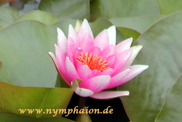 Nymphaea `Neptune` - Winterharte Seerose