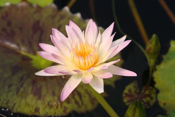 Nymphaea `Albert Greenberg` - Tropische Seerose