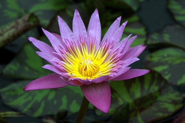 Nymphaea `Queen of Siam` - Tropische Seerose