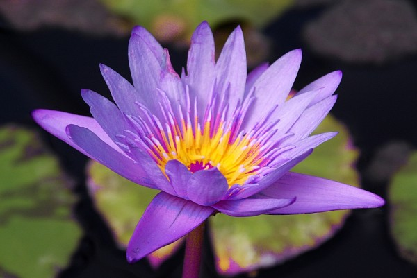 Nymphaea `Clint Bryant` - Tropische Seerose