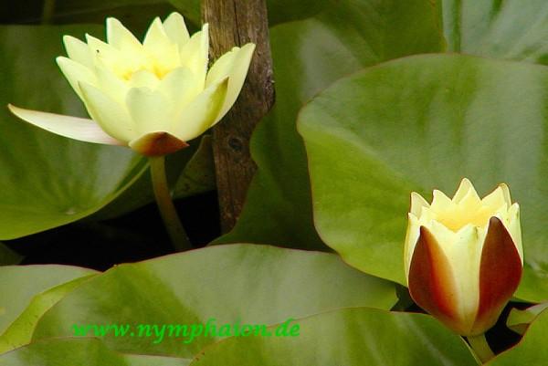 Nymphaea `Moorei` - Winterharte Seerose