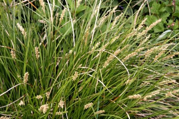 Carex paniculata [L.] - Rispensegge