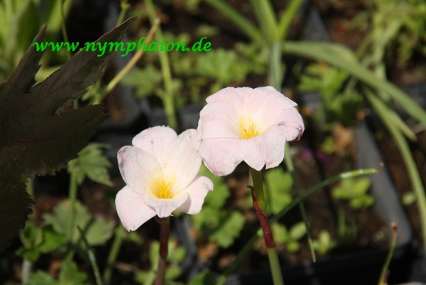 Zephyranthes morrisclintii [Traub & T.M. Howard] - Morris-Clint's Zephyrblume