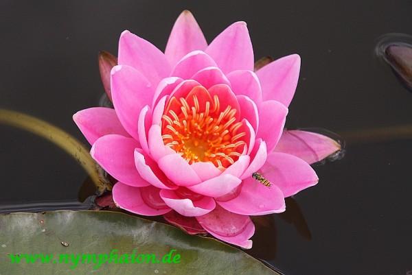 Nymphaea `Perry`s Vivid Rose` - Winterharte Seerose
