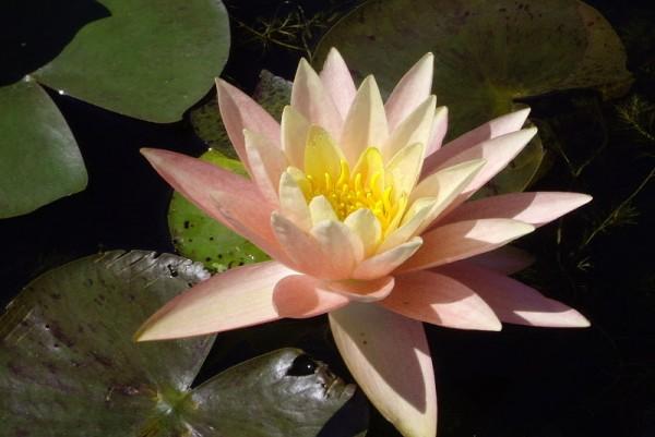 Nymphaea `Peace Lily' - Winterharte Seerose