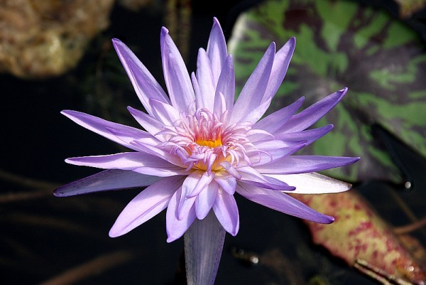 Nymphaea `Midnight Embers` - Tropische Seerose