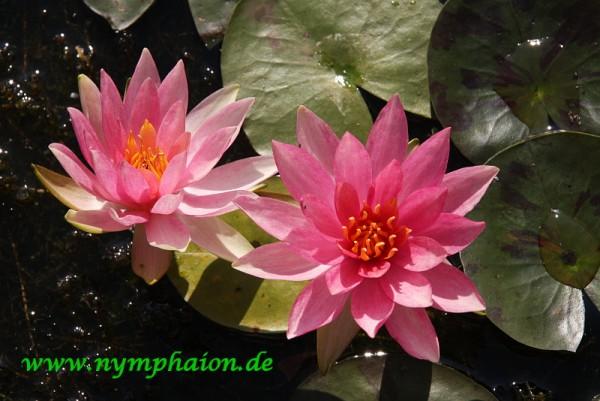 Nymphaea `Pink Sparkle` - Winterharte Seerose