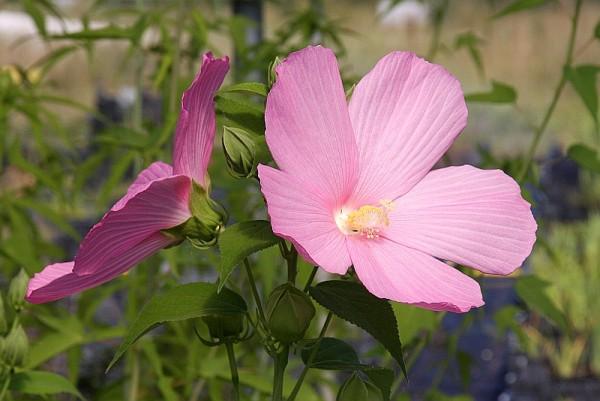 Hibiscus moscheutos [L.] - Sumpfhibiskus