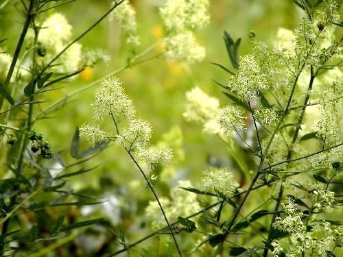 Thalictrum flavum [L.] - Gelbe Wiesenraute