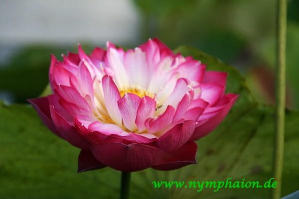Nelumbo `Frühling auf dem Schreibtisch` - Lotosblume