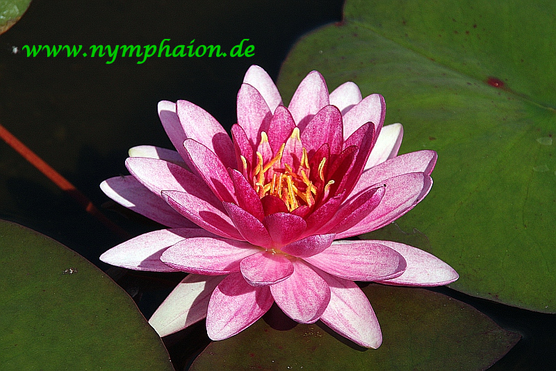 Nymphaea-Perrys-Super-Red-17-08-11-01IeN7MohYraA6c