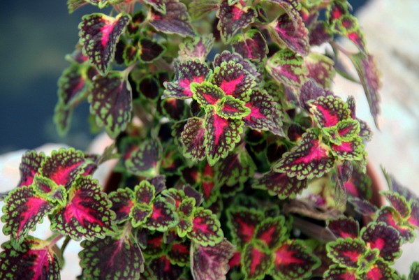 Solenostemon `Lord Falmouth` - Buntnessel