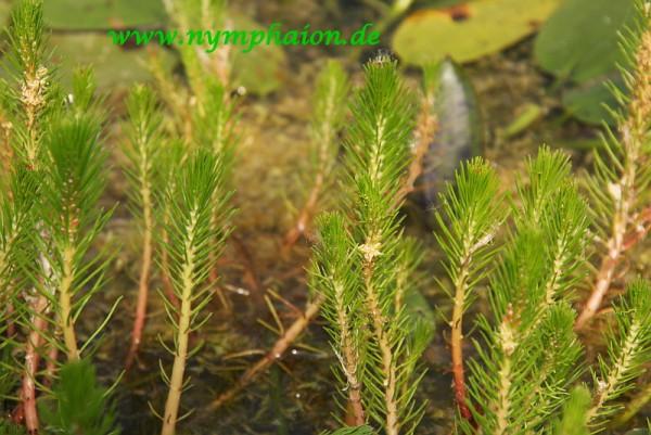 Myriophyllum papillosum [Orchard] - Warziges Tausendblatt