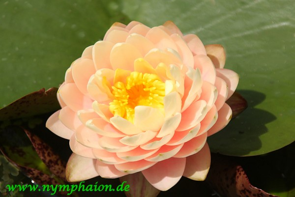 Nymphaea `Blushing Bride'
