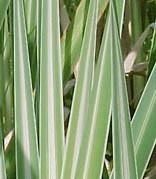 Typha latifolia `Variegata` - Bunter Rohrkolben