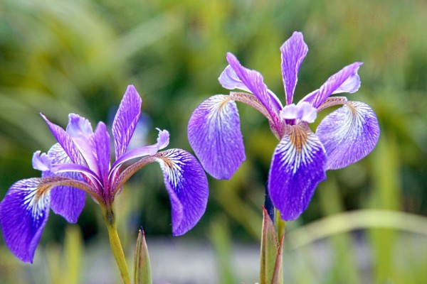 Iris versicolor `Light Blue` - Verschiedenfarbige Schwertlilie