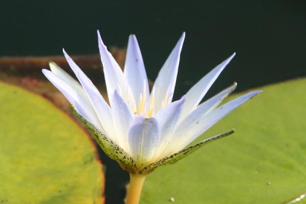 Nymphaea caerulea [Savigny] - Blaue Ägyptische Seerose